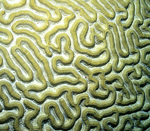 Brain Coral | Flickr - Photo Sharing!