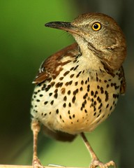 Brown Thrasher (Momba (Trish)) Tags: bird topf25 topv111 wow ilovenature topv333 nikon nikond70 2550fav 300views nikkor momba brownthrasher iloveit toxostomarufum 80400mmf4556dvr 333v3f 111v1f interestingness204 i500 specnature gastatebird nikonstunninggallery specanimal explore19may2006 brownthrashergeorgiatoxostomarufum