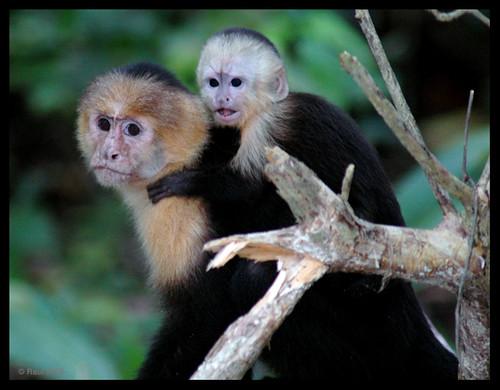 Capuchin Monkey Breeders In Tn