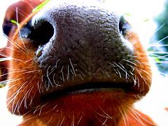 I'm bigger than you (Day_C) Tags: ilovenature cow rotterdam dayc summer2005 gras snot lief kinderboerderij mooooo koe neus wetnose hotlips hairynose childrenfarm natteneus harigeneus