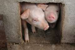 Piglets come to say hello (J-Hob) Tags: john river pig delta vietnam pigs piglet mekongdelta mekong piglets johnhobson johnhobsonphotographycom