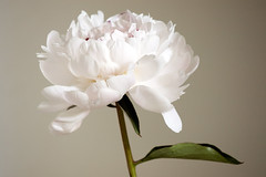 White Peony (bentilden) Tags: white flower color green closeup leaf pentax bokeh peony bloom istdl