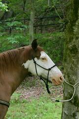 IMG_8766 (mljenkins) Tags: park horse mountain west virginia mare ride state bend north trail wv council stallion mule gelding ellenboro mshmc