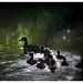 The Ducks of Avalon