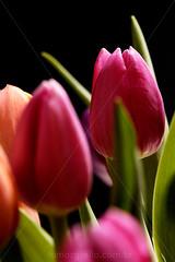 Eu nao consigo!!! (Keep Clicking) Tags: flowers tulips nikond50