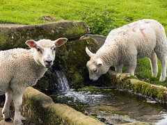 Jervaulx Sheep -  Can I Drink Water Now? (JuanJ) Tags: uk england animal photoshop lumix interestingness europe sheep cs2 unitedkingdom panasonic fz fz30 ripon jervaulx payitforward masham 4aces interestingness54 i500 explore2jun06