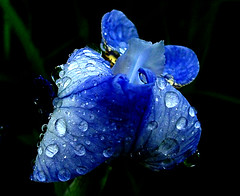 Blue iris (Zanastardust) Tags: blue iris flower tag3 taggedout ilovenature tag2 tag1 weekend raindrops 100club s3000 calendarshot flickrific