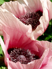 The poppy session #1 (cattycamehome) Tags: pink flowers red flower tag3 taggedout petals tag2 all tag1 purple blossom  rights poppy poppies pollen reserved catherineingram june2006 cattycamehome allrightsreserved