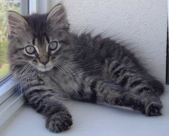 Am I cute or what? (Kendra88USA) Tags: cats cat kitten kitty kitties mybaby beemer bestofcats boc1208