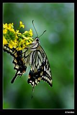 Different angle (Jeroen van Vliet [bsidez]) Tags: holland netherlands butterfly japanese utrecht citroen botanic citrus botanicgardens vlinder japans bsidez citrusswallowtail citroenvlinder botanischetuinen buttelfly
