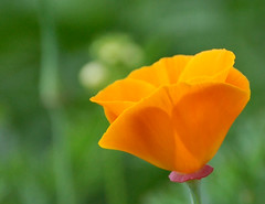 First Poppy of the Year (lawatha) Tags: plant flower poppy californiapoppy