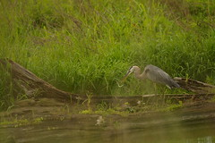 Great blue heron eating snake  0250 (Eric Wengert Photography) Tags: blue heron snake great ardea herodius