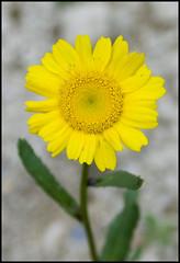 flor amarilla (BigShark) Tags: deleteme5 deleteme8 deleteme macro deleteme2 deleteme3 deleteme4 deleteme6 deleteme9 deleteme7 deleteme10 flor varias