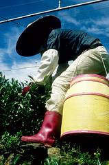 Tea Worker (Peggie Scott) Tags: taiwan teapicker eastsideofisland