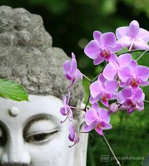 in my garden (photos4dreams) Tags: stilllife orchid buddha stilleben stillife