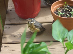 Very young robin (Funkomaticphototron) Tags: green bird nature robin leaves minnesota close young deck flowerpot coryfunk