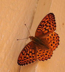 Orange Butterfly (JJSchad) Tags: orange tag3 taggedout southdakota blackhills spearfishcanyon butterfly tag2 tag1 spotted tag4 1on1 1on1macros