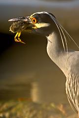 Eating Crab (key lime pie yumyum) Tags: 3 heron keys fishing feeding florida eating save3 crab save7 save8 delete save save2 save9 save4 save5 save10 save6 savedbythedeltemeuncensoredgroup yellowcrownednightheron save12