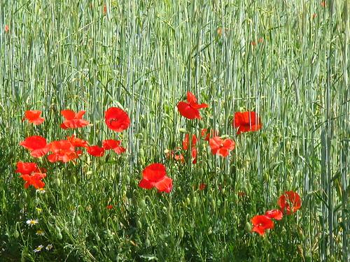 Castelluccio Papaveri e Farro, poppys and spelt