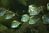 School of Lookdown Fish (jennaliz) Tags: vegas fish lookdown mandalay