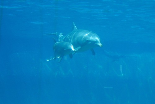 Mother and son -- arctic dolphin animal water sea aquarium marine life wild fish whale bottlenose