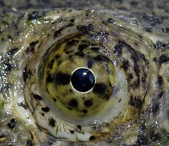 My what pretty eyes you have (The Horned Jack Lizard) Tags: camp nature animal animals outdoors bowie texas turtle reptile wildlife turtles reptiles snappingturtle chelonia campbowie commonsnappingturtle chelydraserpentina chelonian