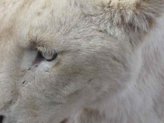 Lion Extremely Close (jsgiuseppe) Tags: lions lionpark