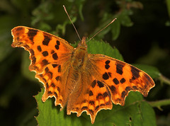 """Coma Butterfly (polygonia c-album)(5) • <a style=""""font-size:0.8em;"""" href=""""http://www.flickr.com/photos/57024565@N00/189455525/"""" target=""""_blank"""">View on Flickr</a>"""