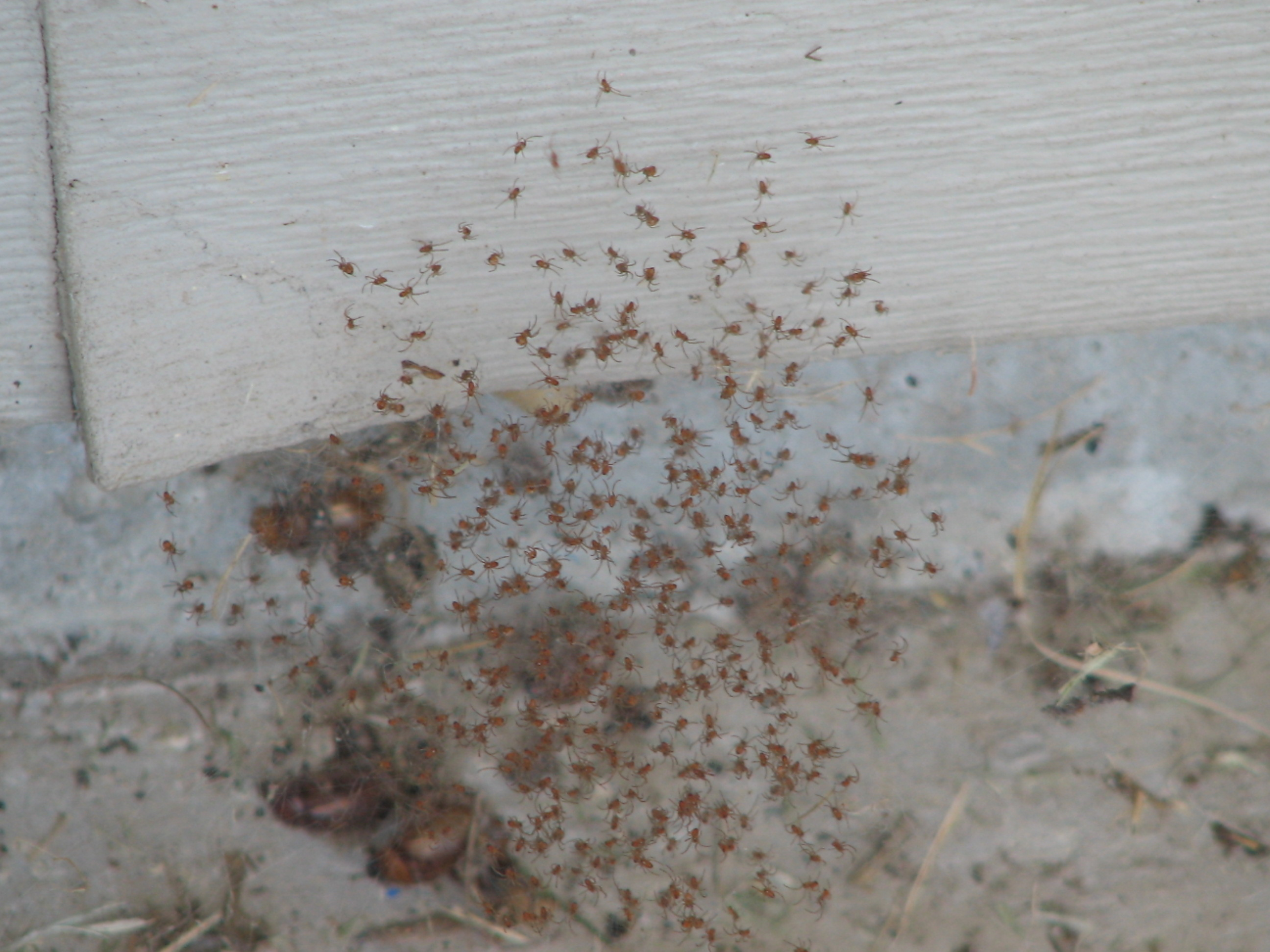 Spider Information Brown Recluse Hobo And Black Widows
