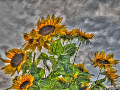 Fake Sunflower Real Sky HDR -Single Raw (mike in wny) Tags: sky ny delete10 clouds delete9 delete5 delete2 buffalo raw cs2 delete6 delete7 delete8 delete delete4 save single sunflower hdr italianfestival zd olympuse500 photomatix 1445mm 1445mmf3556 1exp