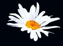 Of Flowers and Flies, Bialystok, Poland (NikaDybalska) Tags: flowers plants garden poland flies bialystok