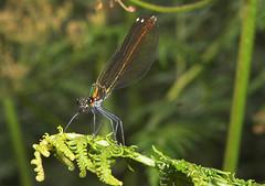 "Beautiful Demoiselle Damselfly (calopteryx virgo) Female • <a style=""font-size:0.8em;"" href=""http://www.flickr.com/photos/57024565@N00/192517389/"" target=""_blank"">View on Flickr</a>"
