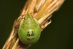 "Green Shield Bug Nymph (Palomena prasina) • <a style=""font-size:0.8em;"" href=""http://www.flickr.com/photos/57024565@N00/192520188/"" target=""_blank"">View on Flickr</a>"