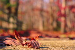 342/366 (Ravi_Shah) Tags: nj autumn pathway cy365 potd bokeh colors sony walkway fall a7ii leaves