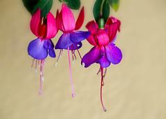 Fuschia 2 (caralan393) Tags: flower fuschia purple mauve pink