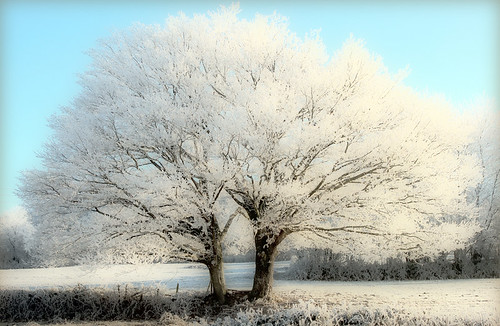 Winter landscape, white trees, twins, tree in the winter, fairy tale, in a blue sky, frosted trees, frost, frosted landscape for christmas by * Thierry *.
