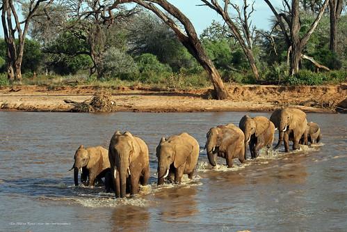 Eine Elefantenherde durchquert den Ewaso Ngíro