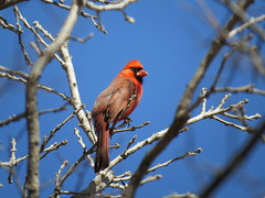 Cardinal Blue (nordicteem) Tags: park blue red cold tree bird minnesota spring cardinal minnehaha
