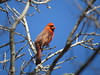 Cardinal Blue (nordicteem) Tags: park blue red cold tree bird minnesota spring cardinal minnehaha