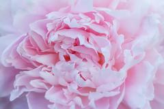 Pale Pink Peony (John D. Stocker) Tags: pink flower color macro closeup garden landscape botanical photography petals flora soft peace decorative pastel arboretum peony petal smell fragrant botany decor tranquil peonies johnstocker paintedspur