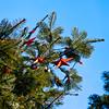 CW142 Christmas Ornaments (listentoreason) Tags: christmas usa holiday america canon unitedstates pennsylvania favorites places christmastree event ornament christmasornament longwoodgardens ef28135mmf3556isusm score30