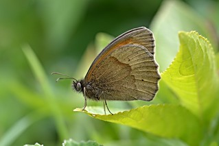 Meadow Brown (Maniola jurtina) [Explored]