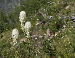 "Beargrass • <a style=""font-size:0.8em;"" href=""http://www.flickr.com/photos/63501323@N07/19188041526/"" target=""_blank"">View on Flickr</a>"