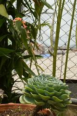 Echeveria sp. Crassulaceae-กุหลาบหิน