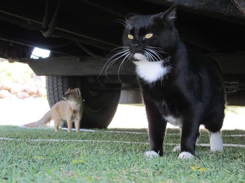 Quand un chat flirte avec une mangouste... Springbok, Afrique du Sud