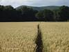 DSC00590 Wenlock Olympian Walk 2015-07-18 - Corn field after Wolverton (John PP) Tags: wow shropshire walk miles 50 challenge wenlock olympian marches 2015 muchwenlock ldwa johnpp 180715
