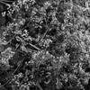 Delicate (Kitezoo) Tags: plants flower garden inthegarden ladysmantle