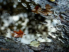 wet fallen leaves [explored] (Ola 竜) Tags: fallenleaves puddle water reflection bokeh dryleaves brown leaf foliage fallen wet lateautumn focus ground thefall afterrain surfacetension