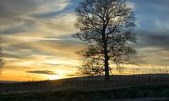 tree immersed in sunset reverie (lunaryuna) Tags: scotland lanarkshire ontheroad drivinghome sunset sundown dusk sky clouds cloudscape light tree silhouette winterweather colours lunaryuna treemendoustuesday