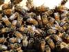 European Honeybee (wild feral) Queen bee laying (closeup macro) (3) (nicephotog) Tags: european honeybee bee apis mellifera comb brood hive beehive queenbee queen laying closeup macro
